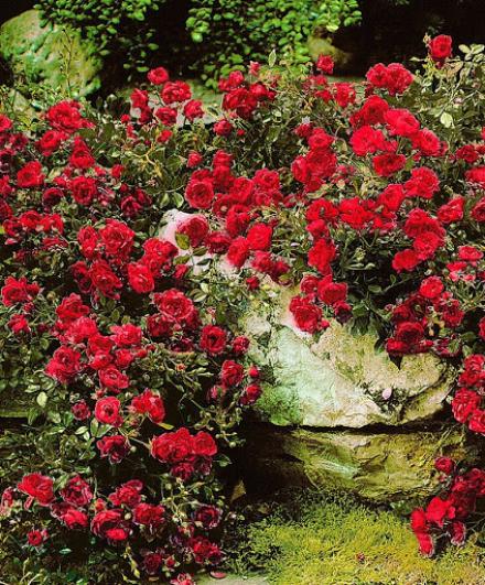 Мускусные и почвопокровные розы