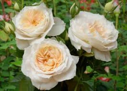 Лион Роуз (Lions Rose)